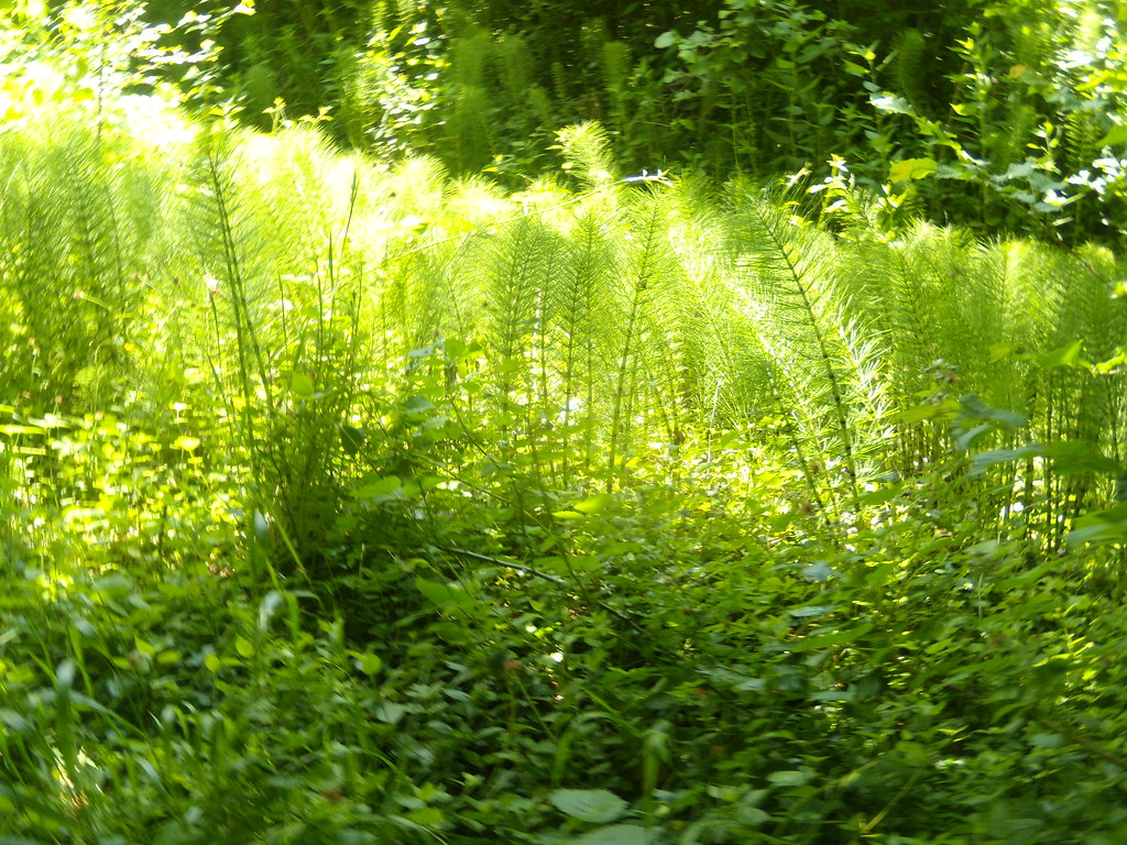 Horsetails A prevalent feature on the stretch nearing Ightam Mote, Sevenoaks Circular