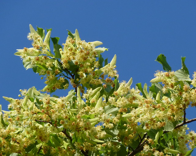 """Tilia platyphyllos"" flowers (Large-leaved Linden)"