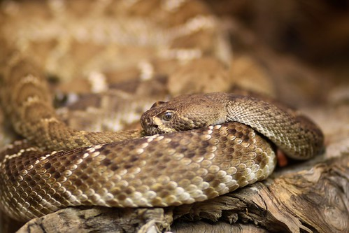 Red Diamond Rattlesnake 1