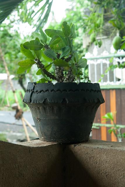 Prickly Tire Plant