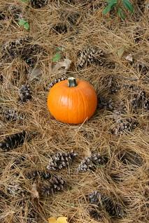 Pumpkin Pine