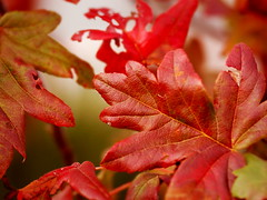 Lobed leaves in autumnal red