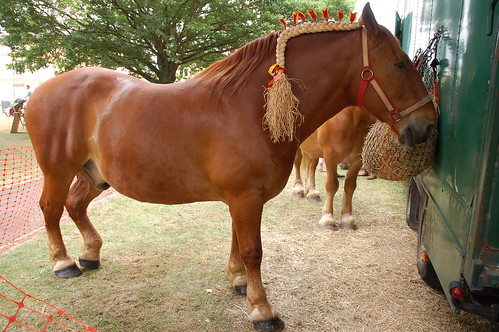 Suffolk Punch horses at Fen Edge Festival