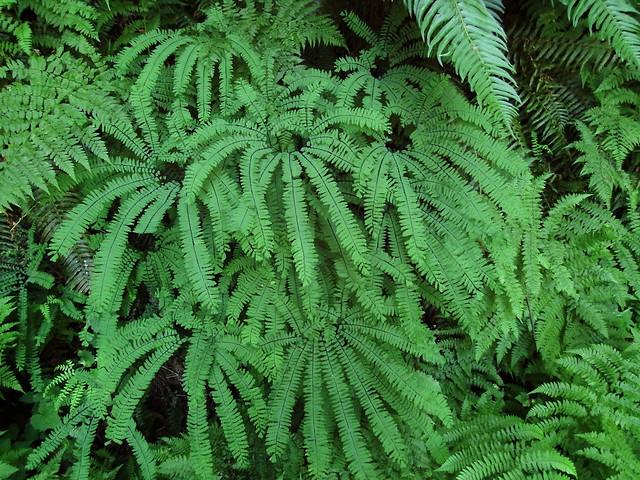 maidenhair fern, Fujifilm FinePix S1