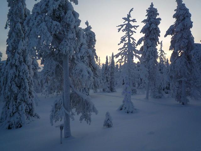 Árboles nevados por la tarde