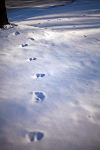 (009/365) Deer tracks