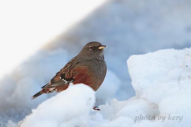 很可爱的鸟, 不怕人, 它的喙及胸毛上都是雪