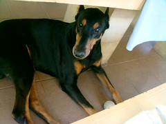 dog breed, animal, dog, german pinscher, manchester terrier, dobermann, pet, guard dog, pinscher, toy manchester terrier, carnivoran,