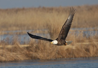 """Bald Eagle"" ""Haliaeetus leucocephalus"""