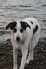 dog breed, animal, danish swedish farmdog, dog, pet, mammal, parson russell terrier,