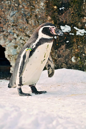 Penguin in the snow by Tambako the Jaguar