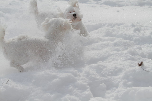 Two puppies in the snow Maltese puppies playing