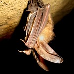 Healthy Virginia big-eared bat