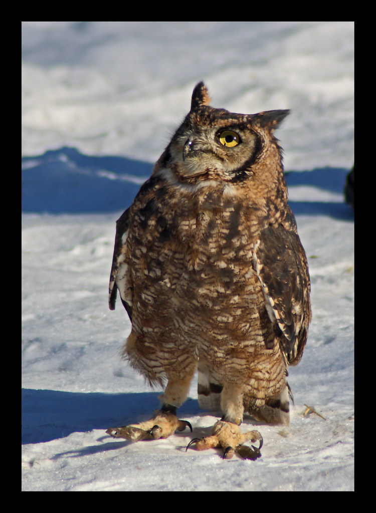 African spotted owl