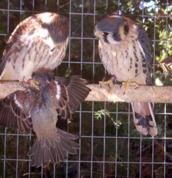 Falco sparverius 4429036302_3457cd8ca7_o