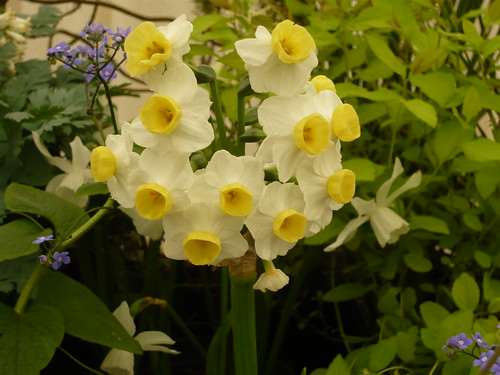 Daffodil selection