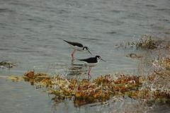 wetland, animal, water, fauna, reflection, stilt, shorebird, bird, wildlife,