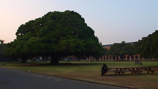 成大的地标-大榕树 | flickr – 相片分享!