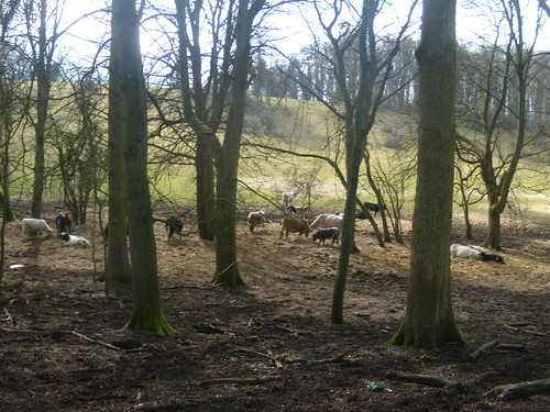 Cows in the wood