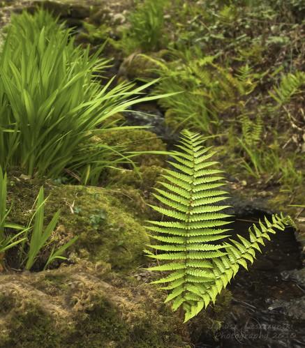 park ireland fern green water forest geotagged stream tranquility national killarney muckrosshouse 000503 ringofkerry janusz leszczynski geo:lat=52016332 geo:lon=9504238