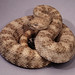 Speckled Rattlesnake - Photo (c) Kerry Matz, some rights reserved (CC BY-NC-SA)