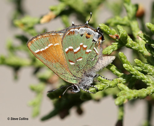 'Olive' Juniper Hairstreak