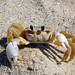 Ghost Crabs - Photo (c) Peter Gorman, some rights reserved (CC BY-NC-SA)