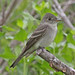 Eastern Wood-Pewee - Photo (c) Jerry Oldenettel, some rights reserved (CC BY-NC-SA)