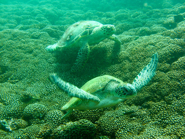 Sea Turtles At Dimaniyat Islands