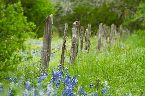flowers blue canon texas bluebonnet 7d wildflowers hillcountry