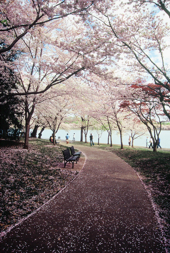 A path of blossoms