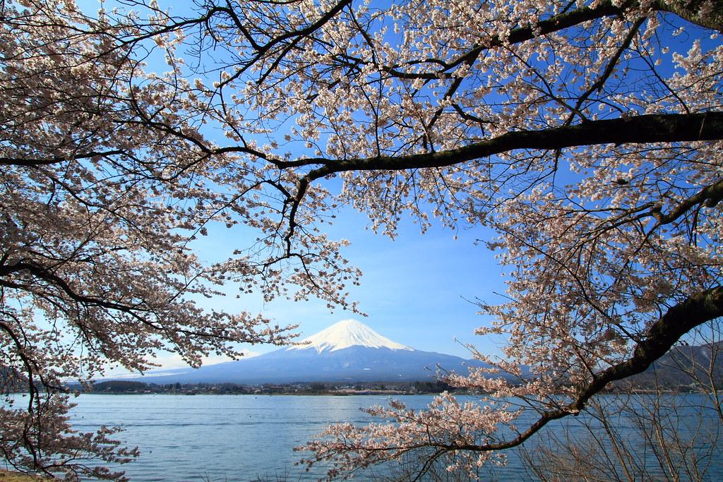 Sakura on Mt. Fuji