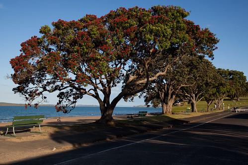 Pohutukawa Trees At Narrow Neck Beach