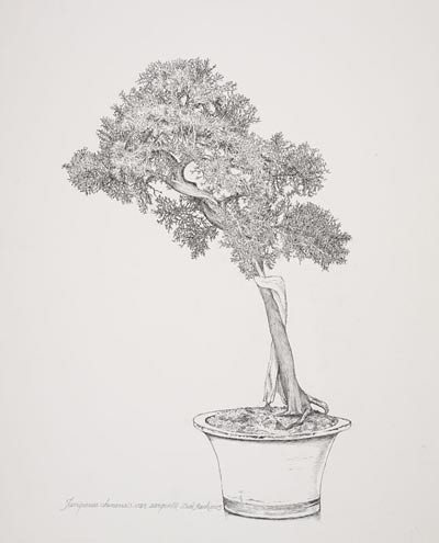 "Dick Rauh, Juniperus chinensis var. sargentii, 2005.  Pen and ink on D'Arches 300# hot press, 20"" × 16"". © Copyright Brooklyn Botanic Garden"