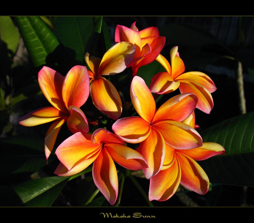 Hawaiian Flowers Plumeria Makaha Sunn A Photo On Flickriver
