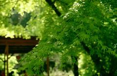 初夏の香嵐渓 by Noël Café