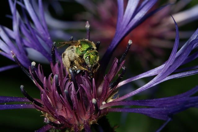 Header of Agapostemon