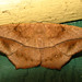 Large Maple Spanworm - Photo (c) kestrel360, some rights reserved (CC BY-NC-ND)