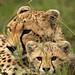2644 Cheetah In The Grass