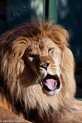 nose, animal, mane, big cats, masai lion, lion, zoo, snout, mammal, roar, fauna, close-up, whiskers, yawn, safari, wildlife,