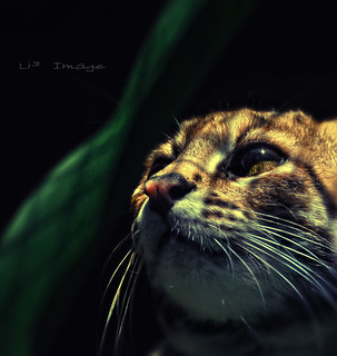Singapore Zoo - Leopard Cat