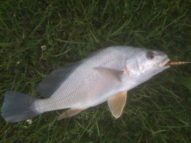 4710156555 91d27c60eb for How to cook drum fish