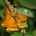 Amazon Leaf Frog (Agalychnis craspedopus)
