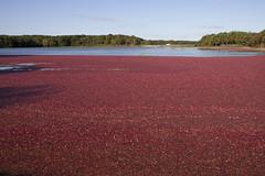 20101009 - Cranberry Harvest