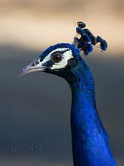 Indian Peafowl male