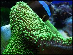 invertebrate(0.0), pomacentridae(0.0), coral reef(1.0), animal(1.0), coral(1.0), coral reef fish(1.0), organism(1.0), marine biology(1.0), stony coral(1.0), green(1.0), underwater(1.0), reef(1.0), sea anemone(1.0),