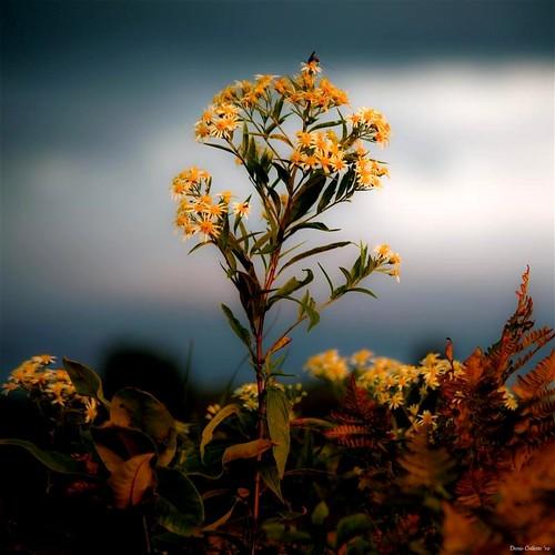 Aster d'automne...!!! - 無料写真検索fotoq