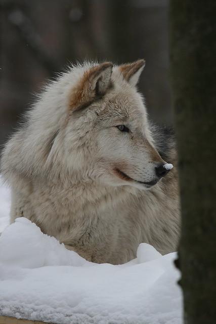IMG#1660 TIMBER WOLF
