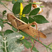 Small photo of Acanthacris ruficornis. Acrididae
