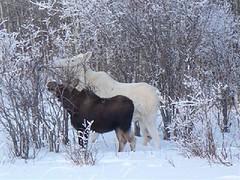 deer(0.0), elk(0.0), winter(1.0), snow(1.0), moose(1.0), fauna(1.0),